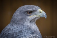 Lulu is a Black-chested Buzzard-eagle